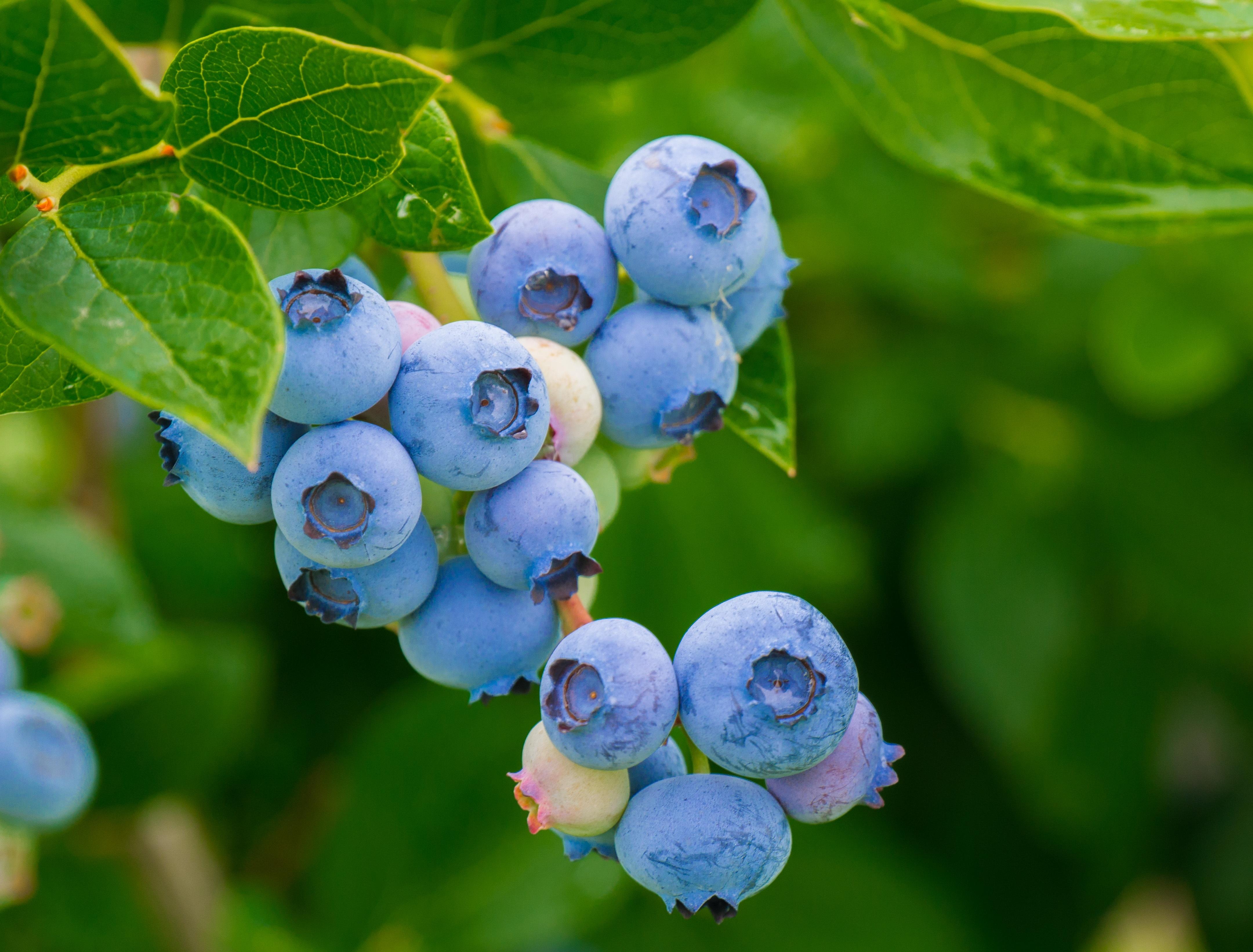 Blueberries-3548239